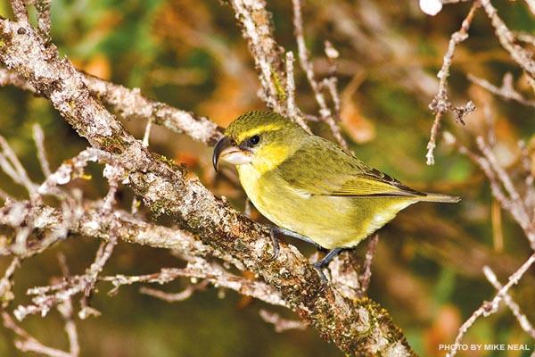 Kiwikiu birds