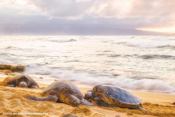 turtles at Hookipa Beach Park on Maui