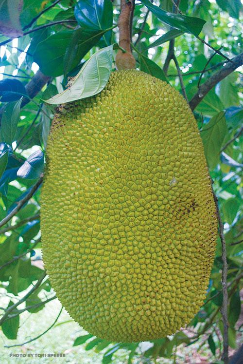 jackfruit maui hawaii