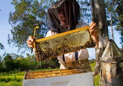 Maui bees