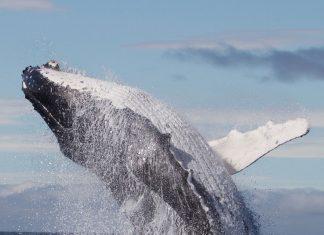 breaching whale maui