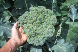 Hybrid broccoli