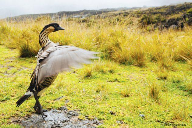 Haleakala Crater nene bird