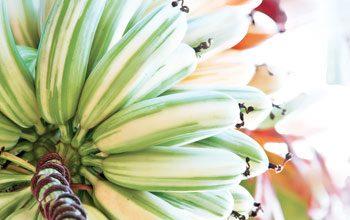 hawaii bananas