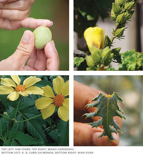 Hawaiian healing plants