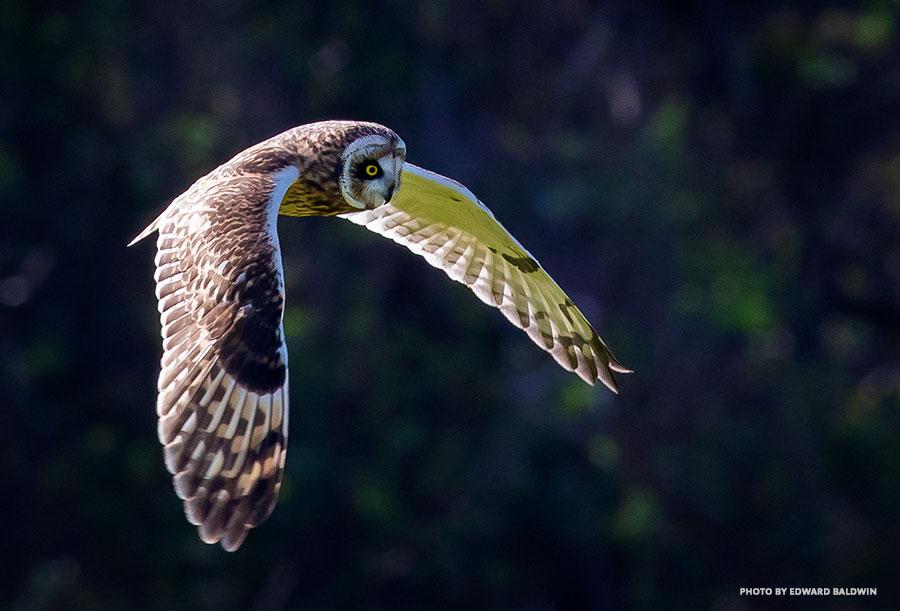 Hawaiian owl pueu