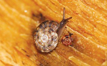 Hawaiian snails