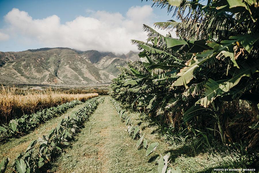 maui taro farms