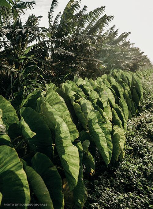 taro plants