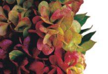 aalii Hawaiian shrub