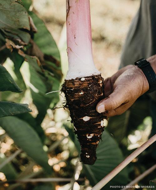 honua'ulu sugarcane