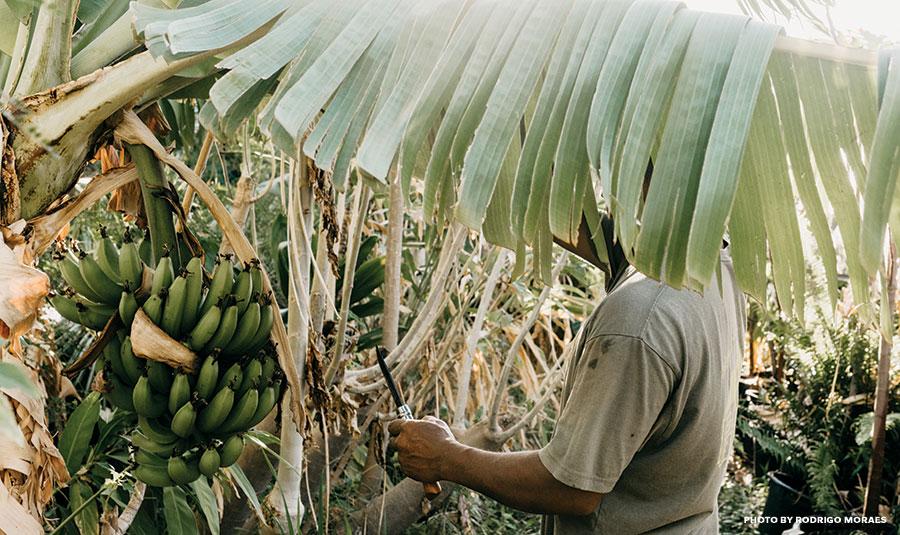 maui banana farm