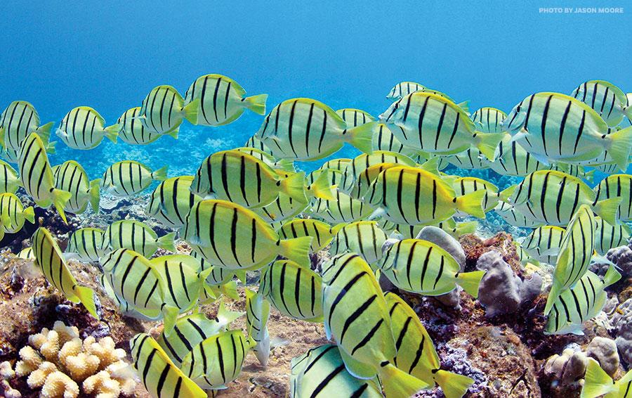 Kahekili Reef Manini