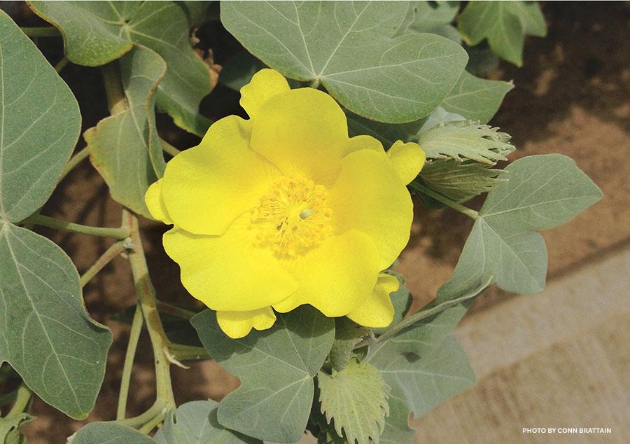 ma'o native cotton plant