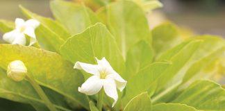 hawaiian cabbage