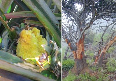 Maui axis deer damage pineapple crop