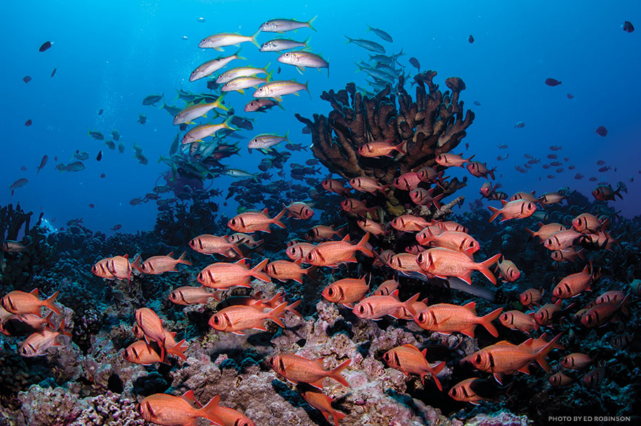 menpachi, soldierfish