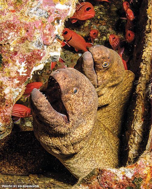 yellow-margin moray eel hawaii