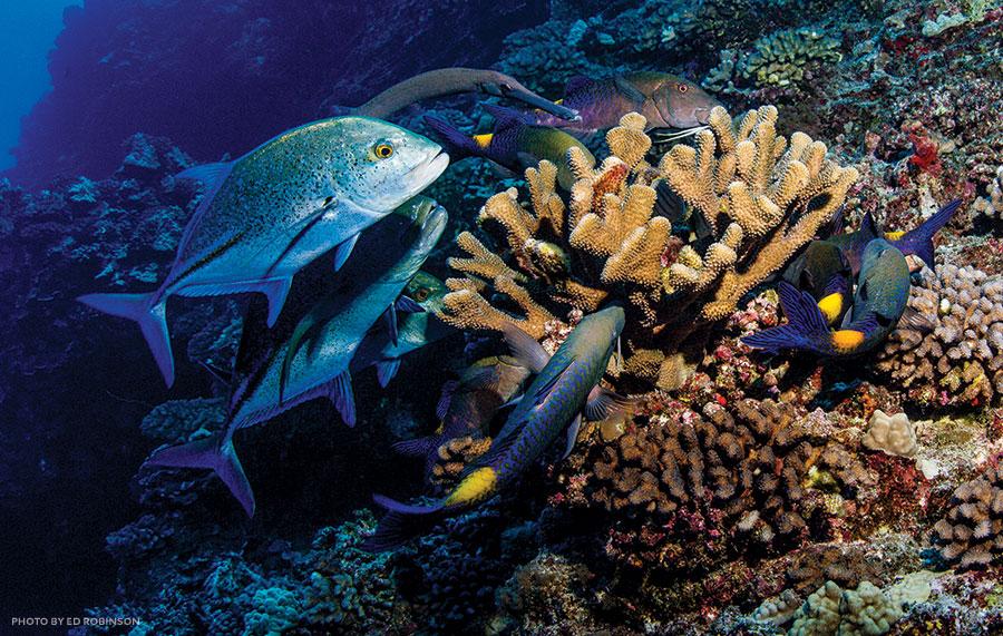 blue goatfish, trumpetfish