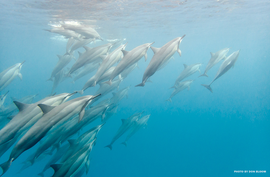dolphins maui