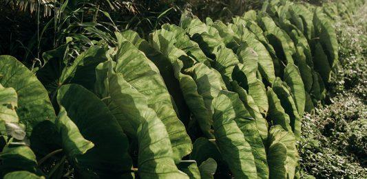 taro farming
