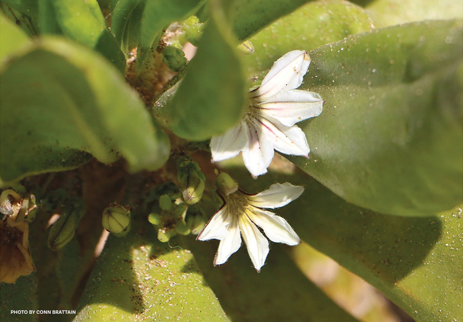 Naupaka Kahakai Flower