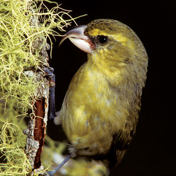 Parrotbill-bird