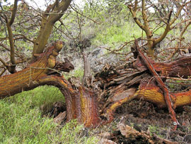 Unable to process water without functional leaves, an ancient Pu'u o Kali tree has burst. Photo by Shannon Wianecki.