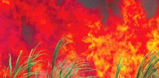 sugarcane burning maui