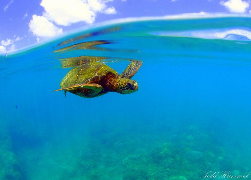 honu turtle maui
