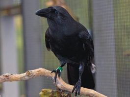 Alala Hawaiian Crow