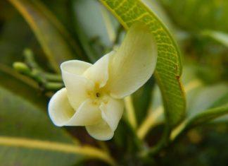 auwahi planting