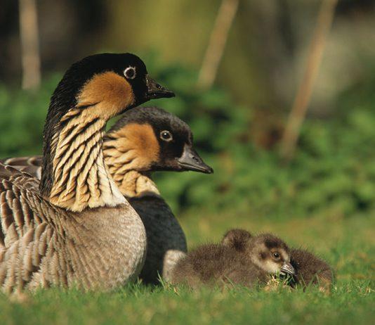 baby nene geese