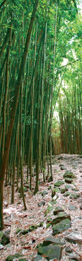 bamboo-forest-maui