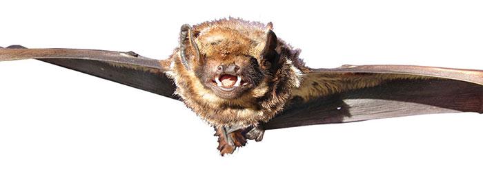 Hawaiian bats