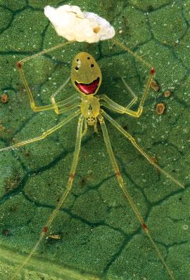 happyface-spider