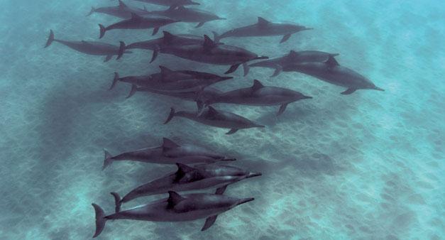 hawaii dolphins