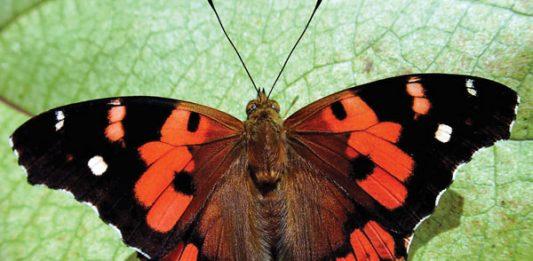hawaii butterfly, kamehameha