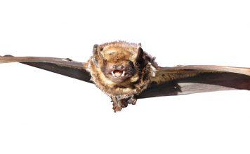 hawaiian bat