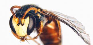 Hawaiian bees