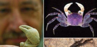 Hawaiian land crab