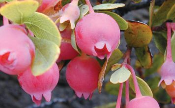 Hawaiian ohelo berries