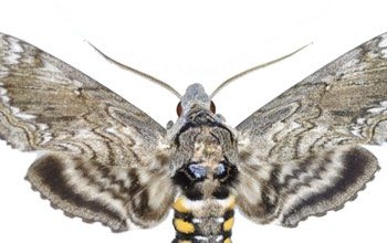 Hawaiian sphinx moth