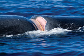 An entangled gill net has cut deeply into a humpback's flesh. Flip Nicklin: Obtained under NMFS permit#753