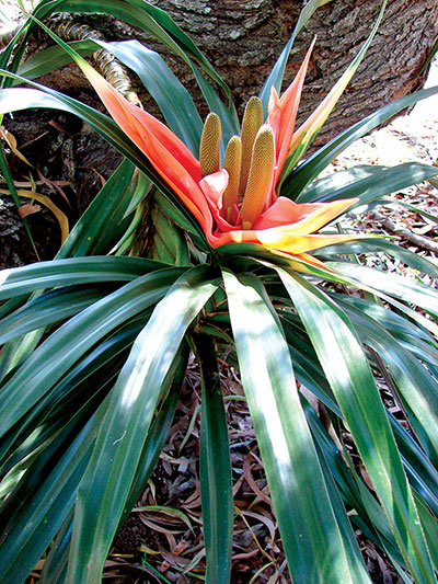 Hawaiian plant
