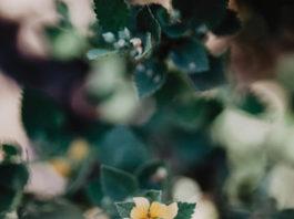 ilima flower