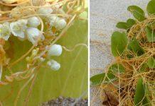 kaunaoa hawaiian plant