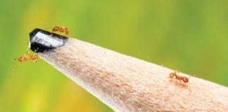 little fire ant in maui hawaii