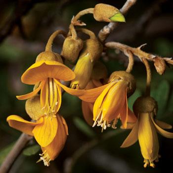 Small, showy mamane blossoms invite native pollinators.