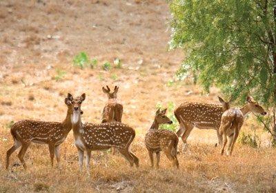maui axis deer